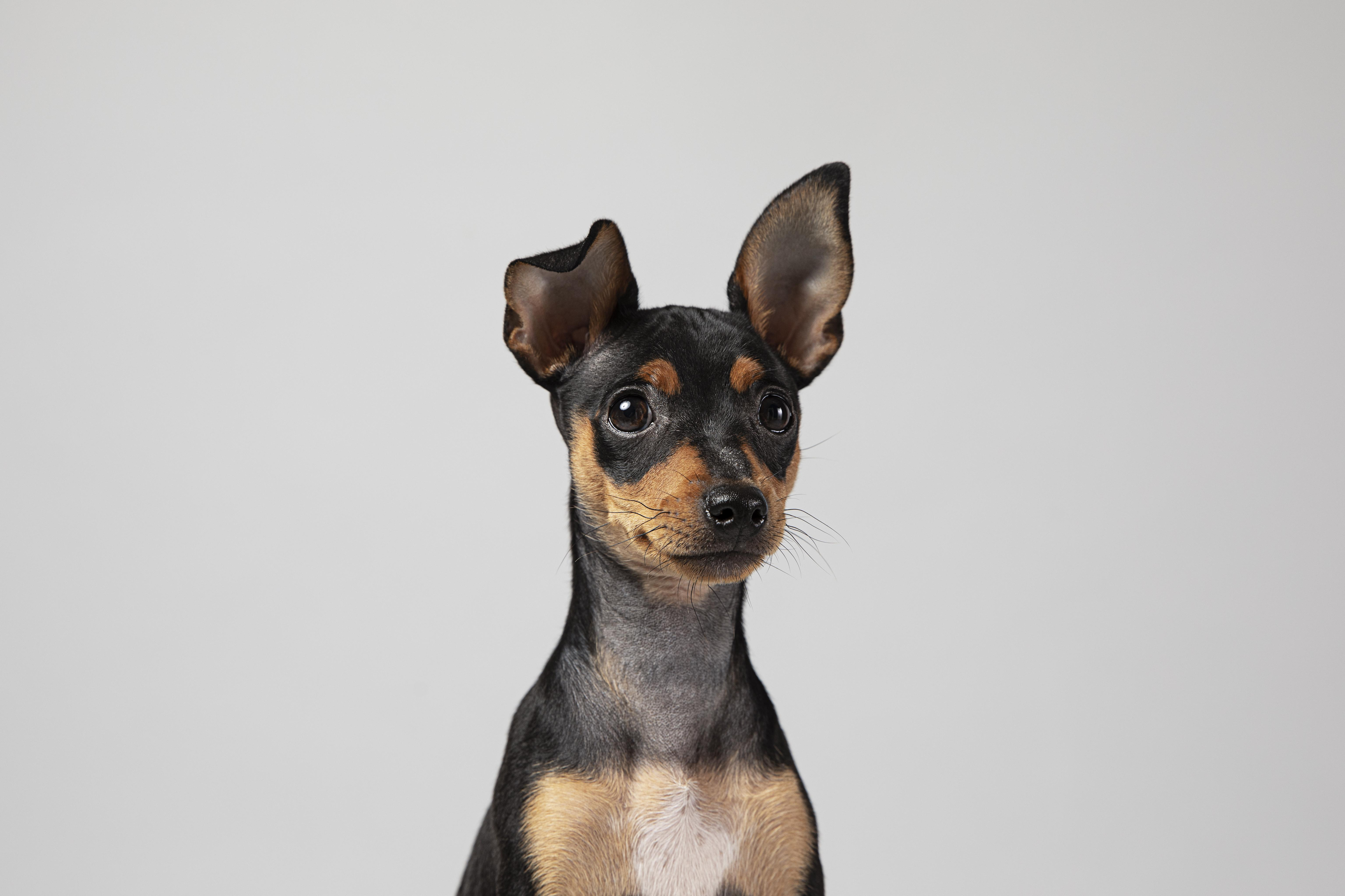small-dog-being-adorable-portrait-studio